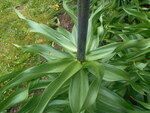 """Kaiserkrone - Fritillaria imperialis; Bildquelle: <a href=""""https://www.pflanzen-deutschland.de/quellen.php?bild_quelle=Wikipedia User Salicyna"""">Wikipedia User Salicyna</a>; Bildlizenz: <a href=""""https://creativecommons.org/licenses/by/4.0/deed.de"""" target=_blank title=""""Namensnennung 4.0 International (CC BY 4.0)"""">CC BY 4.0</a>; <br>Wiki Commons Bildbeschreibung: <a href=""""https://commons.wikimedia.org/wiki/File:Fritillaria_imperialis_2016-04-19_7816.JPG"""" target=_blank title=""""https://commons.wikimedia.org/wiki/File:Fritillaria_imperialis_2016-04-19_7816.JPG"""">https://commons.wikimedia.org/wiki/File:Fritillaria_imperialis_2016-04-19_7816.JPG</a>"""
