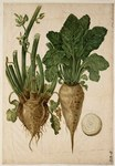 "Rübe - Beta vulgaris; Bildquelle: <a href=""https://www.pflanzen-deutschland.de/quellen.php?bild_quelle=Wikipedia User Marikevanroon20"">Wikipedia User Marikevanroon20</a>; Bildlizenz: <a href=""https://creativecommons.org/licenses/publicdomain/deed.de"" target=_blank title=""Public Domain"">Public Domain</a>;"