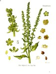 "Rübe - Beta vulgaris; Bildquelle: <a href=""https://www.pflanzen-deutschland.de/quellen.php?bild_quelle=Wikipedia User Nilstilar"">Wikipedia User Nilstilar</a>; Bildlizenz: <a href=""https://creativecommons.org/licenses/by-sa/2.5/deed.de"" target=_blank title=""Namensnennung - Weitergabe unter gleichen Bedingungen 2.5 Unported (CC BY-SA 2.5)"">CC BY 2.5</a>; <br>Wiki Commons Bildbeschreibung: <a href=""https://commons.wikimedia.org/wiki/File:Beta_vulgaris_(K%C3%B6hler).jpg"" target=_blank title=""https://commons.wikimedia.org/wiki/File:Beta_vulgaris_(K%C3%B6hler).jpg"">https://commons.wikimedia.org/wiki/File:Beta_vulgaris_(K%C3%B6hler).jpg</a>"