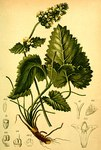 """Fuchsschwanz-Ziest - Betonica alopecuros; Bildquelle: <a href=""""https://www.pflanzen-deutschland.de/quellen.php?bild_quelle=Anton Hartinger, Atlas der Alpenflora 1882"""">Anton Hartinger, Atlas der Alpenflora 1882</a>; Bildlizenz: <a href=""""https://creativecommons.org/licenses/by-sa/3.0/deed.de"""" target=_blank title=""""Namensnennung - Weitergabe unter gleichen Bedingungen 3.0 Unported (CC BY-SA 3.0)"""">CC BY-SA 3.0</a>;"""