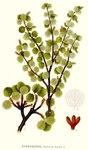 """Zwerg-Birke - Betula nana; Bildquelle: <a href=""""https://www.pflanzen-deutschland.de/quellen.php?bild_quelle=Carl Axel Magnus Lindman Bilder ur Nordens Flora 1901-1905"""">Carl Axel Magnus Lindman Bilder ur Nordens Flora 1901-1905</a>; Bildlizenz: <a href=""""https://creativecommons.org/licenses/publicdomain/deed.de"""" target=_blank title=""""Public Domain"""">Public Domain</a>;"""