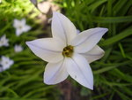 "Frühlingsstern - Ipheion uniflorum; Bildquelle: <a href=""https://www.pflanzen-deutschland.de/quellen.php?bild_quelle=Wikipedia User Rob Hille"">Wikipedia User Rob Hille</a>; Bildlizenz: <a href=""https://creativecommons.org/licenses/by-sa/3.0/deed.de"" target=_blank title=""Namensnennung - Weitergabe unter gleichen Bedingungen 3.0 Unported (CC BY-SA 3.0)"">CC BY-SA 3.0</a>;"