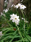 "Frühlingsstern - Ipheion uniflorum; Bildquelle: <a href=""https://www.pflanzen-deutschland.de/quellen.php?bild_quelle=Wikipedia User KENPEI"">Wikipedia User KENPEI</a>; Bildlizenz: <a href=""https://creativecommons.org/licenses/by-sa/3.0/deed.de"" target=_blank title=""Namensnennung - Weitergabe unter gleichen Bedingungen 3.0 Unported (CC BY-SA 3.0)"">CC BY-SA 3.0</a>;"