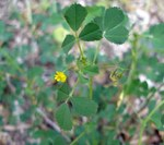 "Scheiben-Schneckenklee - Medicago orbicularis; Bildquelle: <a href=""https://www.pflanzen-deutschland.de/quellen.php?bild_quelle=Wikipedia User Jeantosti"">Wikipedia User Jeantosti</a>; Bildlizenz: <a href=""https://creativecommons.org/licenses/by-sa/3.0/deed.de"" target=_blank title=""Namensnennung - Weitergabe unter gleichen Bedingungen 3.0 Unported (CC BY-SA 3.0)"">CC BY-SA 3.0</a>; <br>Wiki Commons Bildbeschreibung: <a href=""https://commons.wikimedia.org/wiki/File:Medicago_orbicularis1.jpg"" target=_blank title=""https://commons.wikimedia.org/wiki/File:Medicago_orbicularis1.jpg"">https://commons.wikimedia.org/wiki/File:Medicago_orbicularis1.jpg</a>"