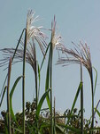 "Gewöhnliches Chinaschilf - Miscanthus sinensis; Bildquelle: <a href=""https://www.pflanzen-deutschland.de/quellen.php?bild_quelle=Wikipedia User Jed"">Wikipedia User Jed</a>; Bildlizenz: <a href=""https://creativecommons.org/licenses/by-sa/3.0/deed.de"" target=_blank title=""Namensnennung - Weitergabe unter gleichen Bedingungen 3.0 Unported (CC BY-SA 3.0)"">CC BY-SA 3.0</a>; <br>Wiki Commons Bildbeschreibung: <a href=""https://commons.wikimedia.org/wiki/File:Miscanthus_sinensis0.jpg"" target=_blank title=""https://commons.wikimedia.org/wiki/File:Miscanthus_sinensis0.jpg"">https://commons.wikimedia.org/wiki/File:Miscanthus_sinensis0.jpg</a>"