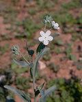 """Venus-Nabelnüsschen - Omphalodes linifolia; Bildquelle: <a href=""""https://www.pflanzen-deutschland.de/quellen.php?bild_quelle=Wikipedia User Denis.prevot"""">Wikipedia User Denis.prevot</a>; Bildlizenz: <a href=""""https://creativecommons.org/licenses/by-sa/3.0/deed.de"""" target=_blank title=""""Namensnennung - Weitergabe unter gleichen Bedingungen 3.0 Unported (CC BY-SA 3.0)"""">CC BY-SA 3.0</a>; <br>Wiki Commons Bildbeschreibung: <a href=""""https://commons.wikimedia.org/wiki/File:Omphalodes_linifolia_-_Fleurs.jpg"""" target=_blank title=""""https://commons.wikimedia.org/wiki/File:Omphalodes_linifolia_-_Fleurs.jpg"""">https://commons.wikimedia.org/wiki/File:Omphalodes_linifolia_-_Fleurs.jpg</a>"""