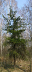 "Banks-Kiefer - Pinus banksiana; Bildquelle: <a href=""https://www.pflanzen-deutschland.de/quellen.php?bild_quelle=Wikipedia User Crusier"">Wikipedia User Crusier</a>; Bildlizenz: <a href=""https://creativecommons.org/licenses/by-sa/3.0/deed.de"" target=_blank title=""Namensnennung - Weitergabe unter gleichen Bedingungen 3.0 Unported (CC BY-SA 3.0)"">CC BY-SA 3.0</a>;"