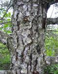 """Banks-Kiefer - Pinus banksiana; Bildquelle: <a href=""""https://www.pflanzen-deutschland.de/quellen.php?bild_quelle=Wikipedia User MPF"""">Wikipedia User MPF</a>; Bildlizenz: <a href=""""https://creativecommons.org/licenses/by-sa/3.0/deed.de"""" target=_blank title=""""Namensnennung - Weitergabe unter gleichen Bedingungen 3.0 Unported (CC BY-SA 3.0)"""">CC BY-SA 3.0</a>; <br>Wiki Commons Bildbeschreibung: <a href=""""https://commons.wikimedia.org/wiki/File:Pinus_banksiana_bark.jpg"""" target=_blank title=""""https://commons.wikimedia.org/wiki/File:Pinus_banksiana_bark.jpg"""">https://commons.wikimedia.org/wiki/File:Pinus_banksiana_bark.jpg</a>"""