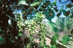 """Kanadische Schwarz-Pappel - Populus deltoides; Bildquelle: <a href=""""https://www.pflanzen-deutschland.de/quellen.php?bild_quelle=Wikipedia User MPF"""">Wikipedia User MPF</a>; Bildlizenz: <a href=""""https://creativecommons.org/licenses/by-sa/3.0/deed.de"""" target=_blank title=""""Namensnennung - Weitergabe unter gleichen Bedingungen 3.0 Unported (CC BY-SA 3.0)"""">CC BY-SA 3.0</a>;"""