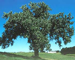 """Kanadische Schwarz-Pappel - Populus deltoides; Bildquelle: <a href=""""https://www.pflanzen-deutschland.de/quellen.php?bild_quelle=Wikipedia User Spedona"""">Wikipedia User Spedona</a>; Bildlizenz: <a href=""""https://creativecommons.org/licenses/by-sa/3.0/deed.de"""" target=_blank title=""""Namensnennung - Weitergabe unter gleichen Bedingungen 3.0 Unported (CC BY-SA 3.0)"""">CC BY-SA 3.0</a>;"""