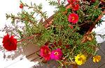"""Portulakröschen - Portulaca grandiflora; Bildquelle: <a href=""""https://www.pflanzen-deutschland.de/quellen.php?bild_quelle=Wikipedia User Gothika"""">Wikipedia User Gothika</a>; Bildlizenz: <a href=""""https://creativecommons.org/licenses/by-sa/3.0/deed.de"""" target=_blank title=""""Namensnennung - Weitergabe unter gleichen Bedingungen 3.0 Unported (CC BY-SA 3.0)"""">CC BY-SA 3.0</a>;"""