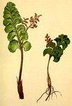 """Echte Mondraute - Botrychium lunaria; Bildquelle: <a href=""""https://www.pflanzen-deutschland.de/quellen.php?bild_quelle=Wikipedia User Aroche"""">Wikipedia User Aroche</a>; Bildlizenz: <a href=""""https://creativecommons.org/licenses/by-sa/3.0/deed.de"""" target=_blank title=""""Namensnennung - Weitergabe unter gleichen Bedingungen 3.0 Unported (CC BY-SA 3.0)"""">CC BY-SA 3.0</a>; <br>Wiki Commons Bildbeschreibung: <a href=""""https://commons.wikimedia.org/wiki/File:Botrychium_lunaria_Atlas_Alpenflora.jpg"""" target=_blank title=""""https://commons.wikimedia.org/wiki/File:Botrychium_lunaria_Atlas_Alpenflora.jpg"""">https://commons.wikimedia.org/wiki/File:Botrychium_lunaria_Atlas_Alpenflora.jpg</a>"""