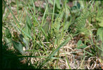 """Ästige Mondraute - Botrychium matricariifolium; Bildquelle: <a href=""""https://www.pflanzen-deutschland.de/quellen.php?bild_quelle=Wikipedia User File Upload Bot Magnus Manske"""">Wikipedia User File Upload Bot Magnus Manske</a>; Bildlizenz: <a href=""""https://creativecommons.org/licenses/by-sa/3.0/deed.de"""" target=_blank title=""""Namensnennung - Weitergabe unter gleichen Bedingungen 3.0 Unported (CC BY-SA 3.0)"""">CC BY-SA 3.0</a>; <br>Wiki Commons Bildbeschreibung: <a href=""""https://commons.wikimedia.org/wiki/File:Botrychium_matricariifolium_2-eheep_(5098036976).jpg"""" target=_blank title=""""https://commons.wikimedia.org/wiki/File:Botrychium_matricariifolium_2-eheep_(5098036976).jpg"""">https://commons.wikimedia.org/wiki/File:Botrychium_matricariifolium_2-eheep_(5098036976).jpg</a>"""