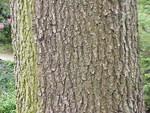 """Ungarische Eiche - Quercus frainetto; Bildquelle: <a href=""""https://www.pflanzen-deutschland.de/quellen.php?bild_quelle=Wikipedia User Topjabot"""">Wikipedia User Topjabot</a>; Bildlizenz: <a href=""""https://creativecommons.org/licenses/by-sa/3.0/deed.de"""" target=_blank title=""""Namensnennung - Weitergabe unter gleichen Bedingungen 3.0 Unported (CC BY-SA 3.0)"""">CC BY-SA 3.0</a>; <br>Wiki Commons Bildbeschreibung: <a href=""""https://commons.wikimedia.org/wiki/File:Quercus_frainetto1.jpg"""" target=_blank title=""""https://commons.wikimedia.org/wiki/File:Quercus_frainetto1.jpg"""">https://commons.wikimedia.org/wiki/File:Quercus_frainetto1.jpg</a>"""