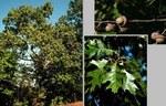 """Färber-Eiche - Quercus velutina; Bildquelle: <a href=""""https://www.pflanzen-deutschland.de/quellen.php?bild_quelle=Wikipedia User MPF"""">Wikipedia User MPF</a>; Bildlizenz: <a href=""""https://creativecommons.org/licenses/by-sa/3.0/deed.de"""" target=_blank title=""""Namensnennung - Weitergabe unter gleichen Bedingungen 3.0 Unported (CC BY-SA 3.0)"""">CC BY-SA 3.0</a>; <br>Wiki Commons Bildbeschreibung: <a href=""""https://commons.wikimedia.org/wiki/File:Quercus_velutina.jpg"""" target=_blank title=""""https://commons.wikimedia.org/wiki/File:Quercus_velutina.jpg"""">https://commons.wikimedia.org/wiki/File:Quercus_velutina.jpg</a>"""