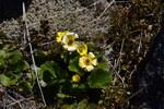 """Haasscher Gold-Hahnenfuß - Ranunculus haasii; Bildquelle: <a href=""""https://www.pflanzen-deutschland.de/quellen.php?bild_quelle=Wikipedia User Tournasol7"""">Wikipedia User Tournasol7</a>; Bildlizenz: <a href=""""https://creativecommons.org/licenses/by/4.0/deed.de"""" target=_blank title=""""Namensnennung 4.0 International (CC BY 4.0)"""">CC BY 4.0</a>; <br>Wiki Commons Bildbeschreibung: <a href=""""https://commons.wikimedia.org/wiki/File:Ranunculus_haastii_in_Lewis_Pass_Scenic_Reserve_02.jpg"""" target=_blank title=""""https://commons.wikimedia.org/wiki/File:Ranunculus_haastii_in_Lewis_Pass_Scenic_Reserve_02.jpg"""">https://commons.wikimedia.org/wiki/File:Ranunculus_haastii_in_Lewis_Pass_Scenic_Reserve_02.jpg</a>"""