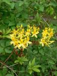 """Pontische Alpenrose - Rhododendron luteum; Bildquelle: <a href=""""https://www.pflanzen-deutschland.de/quellen.php?bild_quelle=Wikipedia User GeographBot"""">Wikipedia User GeographBot</a>; Bildlizenz: <a href=""""https://creativecommons.org/licenses/by-sa/2.0/deed.de"""" target=_blank title=""""Namensnennung - Weitergabe unter gleichen Bedingungen 2.0 Unported (CC BY-SA 2.0)"""">CC BY 2.0</a>; <br>Wiki Commons Bildbeschreibung: <a href=""""https://commons.wikimedia.org/wiki/File:Rhododendron_luteum_-_geograph.org.uk_-_1326921.jpg"""" target=_blank title=""""https://commons.wikimedia.org/wiki/File:Rhododendron_luteum_-_geograph.org.uk_-_1326921.jpg"""">https://commons.wikimedia.org/wiki/File:Rhododendron_luteum_-_geograph.org.uk_-_1326921.jpg</a>"""