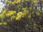 """Pontische Alpenrose - Rhododendron luteum; Bildquelle: <a href=""""https://www.pflanzen-deutschland.de/quellen.php?bild_quelle=Wikipedia User Christer T Johansson"""">Wikipedia User Christer T Johansson</a>; Bildlizenz: <a href=""""https://creativecommons.org/licenses/by-sa/3.0/deed.de"""" target=_blank title=""""Namensnennung - Weitergabe unter gleichen Bedingungen 3.0 Unported (CC BY-SA 3.0)"""">CC BY-SA 3.0</a>; <br>Wiki Commons Bildbeschreibung: <a href=""""https://commons.wikimedia.org/wiki/File:Rhododendron_luteum-IMG_6683.JPG"""" target=_blank title=""""https://commons.wikimedia.org/wiki/File:Rhododendron_luteum-IMG_6683.JPG"""">https://commons.wikimedia.org/wiki/File:Rhododendron_luteum-IMG_6683.JPG</a>"""