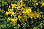 """Pontische Alpenrose - Rhododendron luteum; Bildquelle: <a href=""""https://www.pflanzen-deutschland.de/quellen.php?bild_quelle=Wikipedia User Chrumps"""">Wikipedia User Chrumps</a>; Bildlizenz: <a href=""""https://creativecommons.org/licenses/by-sa/3.0/deed.de"""" target=_blank title=""""Namensnennung - Weitergabe unter gleichen Bedingungen 3.0 Unported (CC BY-SA 3.0)"""">CC BY-SA 3.0</a>;"""