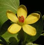 """Gold-Johannisbeere - Ribes aureum; Bildquelle: <a href=""""https://www.pflanzen-deutschland.de/quellen.php?bild_quelle=Wikipedia User Bff"""">Wikipedia User Bff</a>; Bildlizenz: <a href=""""https://creativecommons.org/licenses/by-sa/3.0/deed.de"""" target=_blank title=""""Namensnennung - Weitergabe unter gleichen Bedingungen 3.0 Unported (CC BY-SA 3.0)"""">CC BY-SA 3.0</a>; <br>Wiki Commons Bildbeschreibung: <a href=""""http://commons.wikimedia.org/wiki/File:Ribes_aureum20120505_14.jpg"""" target=_blank title=""""http://commons.wikimedia.org/wiki/File:Ribes_aureum20120505_14.jpg"""">http://commons.wikimedia.org/wiki/File:Ribes_aureum20120505_14.jpg</a>"""