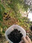 """Armenische Brombeere - Rubus armeniacus; Bildquelle: <a href=""""https://www.pflanzen-deutschland.de/quellen.php?bild_quelle=Wikipedia User ThayneT"""">Wikipedia User ThayneT</a>; Bildlizenz: <a href=""""https://creativecommons.org/licenses/by/4.0/deed.de"""" target=_blank title=""""Namensnennung 4.0 International (CC BY 4.0)"""">CC BY 4.0</a>; <br>Wiki Commons Bildbeschreibung: <a href=""""https://commons.wikimedia.org/wiki/File:Rubus_armeniacus_2.jpg"""" target=_blank title=""""https://commons.wikimedia.org/wiki/File:Rubus_armeniacus_2.jpg"""">https://commons.wikimedia.org/wiki/File:Rubus_armeniacus_2.jpg</a>"""