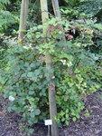"""Zweifarbige Brombeere - Rubus bifrons; Bildquelle: <a href=""""https://www.pflanzen-deutschland.de/quellen.php?bild_quelle=Wikipedia User Daderot"""">Wikipedia User Daderot</a>; Bildlizenz: <a href=""""https://creativecommons.org/licenses/by-sa/3.0/deed.de"""" target=_blank title=""""Namensnennung - Weitergabe unter gleichen Bedingungen 3.0 Unported (CC BY-SA 3.0)"""">CC BY-SA 3.0</a>;"""