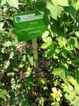 """Gotische Haselblatt-Brombeere - Rubus gothicus; Bildquelle: <a href=""""https://www.pflanzen-deutschland.de/quellen.php?bild_quelle=Wikipedia User MOs810"""">Wikipedia User MOs810</a>; Bildlizenz: <a href=""""https://creativecommons.org/licenses/by/4.0/deed.de"""" target=_blank title=""""Namensnennung 4.0 International (CC BY 4.0)"""">CC BY 4.0</a>; <br>Wiki Commons Bildbeschreibung: <a href=""""https://commons.wikimedia.org/wiki/File:Rubus_gothicus,_Poznan_(2).jpg"""" target=_blank title=""""https://commons.wikimedia.org/wiki/File:Rubus_gothicus,_Poznan_(2).jpg"""">https://commons.wikimedia.org/wiki/File:Rubus_gothicus,_Poznan_(2).jpg</a>"""