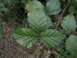 """Mittelmeer-Brombeere - Rubus ulmifolius; Bildquelle: <a href=""""http://dev.pflanzen-deutschland.de/quellen.php?bild_quelle=Wikipedia User Denis Barthel"""">Wikipedia User Denis Barthel</a>; Bildlizenz: <a href=""""https://creativecommons.org/licenses/by-sa/3.0/deed.de"""" target=_blank title=""""Namensnennung - Weitergabe unter gleichen Bedingungen 3.0 Unported (CC BY-SA 3.0)"""">CC BY-SA 3.0</a>;"""
