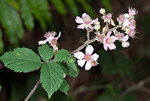 "Samt-Brombeere - Rubus vestitus; Bildquelle: <a href=""https://www.pflanzen-deutschland.de/quellen.php?bild_quelle=Wikipedia User Fae"">Wikipedia User Fae</a>; Bildlizenz: <a href=""https://creativecommons.org/licenses/by/4.0/deed.de"" target=_blank title=""Namensnennung 4.0 International (CC BY 4.0)"">CC BY 4.0</a>; <br>Wiki Commons Bildbeschreibung: <a href=""https://commons.wikimedia.org/wiki/File:Rubus_vestitus_Weihe_ex_Bluff_and_Fingerh._(AM_AK298268-1).jpg"" target=_blank title=""https://commons.wikimedia.org/wiki/File:Rubus_vestitus_Weihe_ex_Bluff_and_Fingerh._(AM_AK298268-1).jpg"">https://commons.wikimedia.org/wiki/File:Rubus_vestitus_Weihe_ex_Bluff_and_Fingerh._(AM_AK298268-1).jpg</a>"