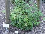 """Samt-Brombeere - Rubus vestitus; Bildquelle: <a href=""""https://www.pflanzen-deutschland.de/quellen.php?bild_quelle=Wikipedia User Daderot"""">Wikipedia User Daderot</a>; Bildlizenz: <a href=""""https://creativecommons.org/licenses/by-sa/3.0/deed.de"""" target=_blank title=""""Namensnennung - Weitergabe unter gleichen Bedingungen 3.0 Unported (CC BY-SA 3.0)"""">CC BY-SA 3.0</a>;"""