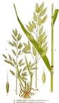 "Weiche Trespe - Bromus hordeaceus; Bildquelle: <a href=""https://www.pflanzen-deutschland.de/quellen.php?bild_quelle=Carl Axel Magnus Lindman Bilder ur Nordens Flora 1901-1905"">Carl Axel Magnus Lindman Bilder ur Nordens Flora 1901-1905</a>; Bildlizenz: <a href=""https://creativecommons.org/licenses/publicdomain/deed.de"" target=_blank title=""Public Domain"">Public Domain</a>;"