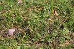 """Südliche Skabiose - Scabiosa triandra; Bildquelle: <a href=""""https://www.pflanzen-deutschland.de/quellen.php?bild_quelle=Wikipedia User Sporti"""">Wikipedia User Sporti</a>; Bildlizenz: <a href=""""https://creativecommons.org/licenses/by-sa/3.0/deed.de"""" target=_blank title=""""Namensnennung - Weitergabe unter gleichen Bedingungen 3.0 Unported (CC BY-SA 3.0)"""">CC BY-SA 3.0</a>; <br>Wiki Commons Bildbeschreibung: <a href=""""https://commons.wikimedia.org/wiki/File:Scabiosa_triandra_PID948-5.jpg"""" target=_blank title=""""https://commons.wikimedia.org/wiki/File:Scabiosa_triandra_PID948-5.jpg"""">https://commons.wikimedia.org/wiki/File:Scabiosa_triandra_PID948-5.jpg</a>"""