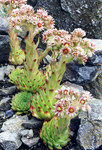 "Alpen-Dach-Hauswurz - Sempervivum tectorum subsp. alpinum; Bildquelle: <a href=""https://www.pflanzen-deutschland.de/quellen.php?bild_quelle=Wikipedia User Ghislain118"">Wikipedia User Ghislain118</a>; Bildlizenz: <a href=""https://creativecommons.org/licenses/by-sa/3.0/deed.de"" target=_blank title=""Namensnennung - Weitergabe unter gleichen Bedingungen 3.0 Unported (CC BY-SA 3.0)"">CC BY-SA 3.0</a>; <br>Wiki Commons Bildbeschreibung: <a href=""https://commons.wikimedia.org/wiki/File:Sempervivum_tectorum_(1)_2_(ex_Pyrenees).jpg"" target=_blank title=""https://commons.wikimedia.org/wiki/File:Sempervivum_tectorum_(1)_2_(ex_Pyrenees).jpg"">https://commons.wikimedia.org/wiki/File:Sempervivum_tectorum_(1)_2_(ex_Pyrenees).jpg</a>"