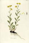 """Felsen-Greiskraut - Senecio rupestris; Bildquelle: <a href=""""https://www.pflanzen-deutschland.de/quellen.php?bild_quelle=Waldstein-Wartenbur, F.  Kitaibel, P. 1803-1805 Descriptiones et icones plantarum  rariorum Hungariae. 2. Band. Matthias Andrea Schmidt, Wien. Tafel 128."""">Waldstein-Wartenbur, F.  Kitaibel, P. 1803-1805 Descriptiones et icones plantarum  rariorum Hungariae. 2. Band. Matthias Andrea Schmidt, Wien. Tafel 128.</a>; Bildlizenz: <a href=""""https://creativecommons.org/licenses/by-sa/3.0/deed.de"""" target=_blank title=""""Namensnennung - Weitergabe unter gleichen Bedingungen 3.0 Unported (CC BY-SA 3.0)"""">CC BY-SA 3.0</a>; <br>Wiki Commons Bildbeschreibung: <a href=""""https://commons.wikimedia.org/wiki/File:Senecio_rupestris.png"""" target=_blank title=""""https://commons.wikimedia.org/wiki/File:Senecio_rupestris.png"""">https://commons.wikimedia.org/wiki/File:Senecio_rupestris.png</a>"""