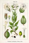 """Weiße Lichtnelke - Silene latifolia; Bildquelle: <a href=""""https://www.pflanzen-deutschland.de/quellen.php?bild_quelle=Wikipedia User Ayacop"""">Wikipedia User Ayacop</a>; Bildlizenz: <a href=""""https://creativecommons.org/publicdomain/zero/1.0/deed.de"""" target=_blank title=""""CC0 1.0 Universell (CC0 1.0)"""">CC0 1.0</a>; <br>Wiki Commons Bildbeschreibung: <a href=""""https://commons.wikimedia.org/wiki/File:Silene_latifolia_Sturm18.jpg"""" target=_blank title=""""https://commons.wikimedia.org/wiki/File:Silene_latifolia_Sturm18.jpg"""">https://commons.wikimedia.org/wiki/File:Silene_latifolia_Sturm18.jpg</a>"""