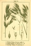 """Sparrige Trespe - Bromus squarrosus; Bildquelle: <a href=""""https://www.pflanzen-deutschland.de/quellen.php?bild_quelle=Deutschlands Flora in Abbildungen, Johann Georg Sturm 1796"""">Deutschlands Flora in Abbildungen, Johann Georg Sturm 1796</a>; Bildlizenz: <a href=""""https://creativecommons.org/licenses/publicdomain/deed.de"""" target=_blank title=""""Public Domain"""">Public Domain</a>;"""