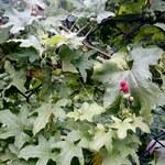 """Rotfrüchtige Zaunrübe - Bryonia dioica; Bildquelle: © <a href=""""https://www.pflanzen-deutschland.de/quellen.php?bild_quelle=wiederich, Vielen Dank"""">wiederich, Vielen Dank</a> - <b>All rights reserved</b>"""