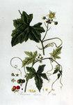 """Rotfrüchtige Zaunrübe - Bryonia dioica; Bildquelle: <a href=""""https://www.pflanzen-deutschland.de/quellen.php?bild_quelle=Jan Kops, Flora Batava, Volume 2 1807"""">Jan Kops, Flora Batava, Volume 2 1807</a>; Bildlizenz: <a href=""""https://creativecommons.org/licenses/by-sa/3.0/deed.de"""" target=_blank title=""""Namensnennung - Weitergabe unter gleichen Bedingungen 3.0 Unported (CC BY-SA 3.0)"""">CC BY-SA 3.0</a>;"""