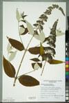 """Schmetterlingsstrauch - Buddleja davidii; Bildquelle: <a href=""""https://www.pflanzen-deutschland.de/quellen.php?bild_quelle=Wikipedia User Neuchatel Herbarium"""">Wikipedia User Neuchatel Herbarium</a>; Bildlizenz: <a href=""""https://creativecommons.org/licenses/by-sa/3.0/deed.de"""" target=_blank title=""""Namensnennung - Weitergabe unter gleichen Bedingungen 3.0 Unported (CC BY-SA 3.0)"""">CC BY-SA 3.0</a>; <br>Wiki Commons Bildbeschreibung: <a href=""""https://commons.wikimedia.org/wiki/File:Neuch%C3%A2tel_Herbarium_-_Buddleja_davidii_-_NEU000100102.jpg"""" target=_blank title=""""https://commons.wikimedia.org/wiki/File:Neuch%C3%A2tel_Herbarium_-_Buddleja_davidii_-_NEU000100102.jpg"""">https://commons.wikimedia.org/wiki/File:Neuch%C3%A2tel_Herbarium_-_Buddleja_davidii_-_NEU000100102.jpg</a>"""
