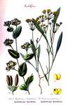 """Sichelblättriges Hasenohr - Bupleurum falcatum; Bildquelle: <a href=""""https://www.pflanzen-deutschland.de/quellen.php?bild_quelle=Otto Wilhelm Thom� Flora von Deutschland, Österreich und der Schweiz 1905, Gera, Germany"""">Otto Wilhelm Thom� Flora von Deutschland, Österreich und der Schweiz 1905, Gera, Germany</a>; Bildlizenz: <a href=""""https://creativecommons.org/licenses/by-sa/3.0/deed.de"""" target=_blank title=""""Namensnennung - Weitergabe unter gleichen Bedingungen 3.0 Unported (CC BY-SA 3.0)"""">CC BY-SA 3.0</a>;"""