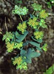 "Rundblättriges Hasenohr - Bupleurum rotundifolium; Bildquelle: <a href=""https://www.pflanzen-deutschland.de/quellen.php?bild_quelle=Wikipedia User Fornax"">Wikipedia User Fornax</a>; Bildlizenz: <a href=""https://creativecommons.org/licenses/by-sa/3.0/deed.de"" target=_blank title=""Namensnennung - Weitergabe unter gleichen Bedingungen 3.0 Unported (CC BY-SA 3.0)"">CC BY-SA 3.0</a>; <br>Wiki Commons Bildbeschreibung: <a href=""https://commons.wikimedia.org/wiki/File:Bupleurum_rotundifolium2_eF.jpg"" target=_blank title=""https://commons.wikimedia.org/wiki/File:Bupleurum_rotundifolium2_eF.jpg"">https://commons.wikimedia.org/wiki/File:Bupleurum_rotundifolium2_eF.jpg</a>"