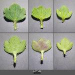 """Dreilappiger Efeu-Ehrenpreis - Veronica hederifolia subsp. triloba; Bildquelle: <a href=""""https://www.pflanzen-deutschland.de/quellen.php?bild_quelle=Wikipedia User Stefan.lefnaer"""">Wikipedia User Stefan.lefnaer</a>; Bildlizenz: <a href=""""https://creativecommons.org/licenses/by-sa/3.0/deed.de"""" target=_blank title=""""Namensnennung - Weitergabe unter gleichen Bedingungen 3.0 Unported (CC BY-SA 3.0)"""">CC BY-SA 3.0</a>; <br>Wiki Commons Bildbeschreibung: <a href=""""https://commons.wikimedia.org/wiki/File:Veronica_triloba_sl3.jpg"""" target=_blank title=""""https://commons.wikimedia.org/wiki/File:Veronica_triloba_sl3.jpg"""">https://commons.wikimedia.org/wiki/File:Veronica_triloba_sl3.jpg</a>"""