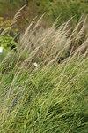 """Purpur-Reitgras - Calamagrostis phragmitoides; Bildquelle: <a href=""""https://www.pflanzen-deutschland.de/quellen.php?bild_quelle=Wikipedia User Rolf Engstrand"""">Wikipedia User Rolf Engstrand</a>; Bildlizenz: <a href=""""https://creativecommons.org/licenses/by-sa/3.0/deed.de"""" target=_blank title=""""Namensnennung - Weitergabe unter gleichen Bedingungen 3.0 Unported (CC BY-SA 3.0)"""">CC BY-SA 3.0</a>; <br>Wiki Commons Bildbeschreibung: <a href=""""https://commons.wikimedia.org/wiki/File:Calamagrostis_phragmitoides_01.JPG"""" target=_blank title=""""https://commons.wikimedia.org/wiki/File:Calamagrostis_phragmitoides_01.JPG"""">https://commons.wikimedia.org/wiki/File:Calamagrostis_phragmitoides_01.JPG</a>"""