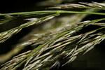 """Ufer-Reitgras - Calamagrostis pseudophragmites; Bildquelle: <a href=""""https://www.pflanzen-deutschland.de/quellen.php?bild_quelle=Wikipedia User Rasbak"""">Wikipedia User Rasbak</a>; Bildlizenz: <a href=""""https://creativecommons.org/licenses/publicdomain/deed.de"""" target=_blank title=""""Public Domain"""">Public Domain</a>;"""