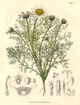"Deutscher Bertram - Anacyclus officinarum; Bildquelle: <a href=""https://www.pflanzen-deutschland.de/quellen.php?bild_quelle=Otto Carl Berg  Carl Friedrich Schmidt"">Otto Carl Berg  Carl Friedrich Schmidt</a>; Bildlizenz: <a href=""https://creativecommons.org/licenses/by-sa/3.0/deed.de"" target=_blank title=""Namensnennung - Weitergabe unter gleichen Bedingungen 3.0 Unported (CC BY-SA 3.0)"">CC BY-SA 3.0</a>;"