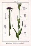 "Haferwurzel - Tragopogon porrifolius; Bildquelle: <a href=""https://www.pflanzen-deutschland.de/quellen.php?bild_quelle=Deutschlands Flora in Abbildungen 1796"">Deutschlands Flora in Abbildungen 1796</a>; Bildlizenz: <a href=""https://creativecommons.org/licenses/publicdomain/deed.de"" target=_blank title=""Public Domain"">Public Domain</a>;"