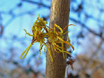 "Virginische Zaubernuss - Hamamelis  virginiana; Bildquelle: <a href=""https://www.pflanzen-deutschland.de/quellen.php?bild_quelle=Wikipedia User Llez"">Wikipedia User Llez</a>; Bildlizenz: <a href=""https://creativecommons.org/licenses/by-sa/3.0/deed.de"" target=_blank title=""Namensnennung - Weitergabe unter gleichen Bedingungen 3.0 Unported (CC BY-SA 3.0)"">CC BY-SA 3.0</a>; <br>Wiki Commons Bildbeschreibung: <a href=""https://commons.wikimedia.org/wiki/File:Hamamelis_virginiana_02.JPG"" target=_blank title=""https://commons.wikimedia.org/wiki/File:Hamamelis_virginiana_02.JPG"">https://commons.wikimedia.org/wiki/File:Hamamelis_virginiana_02.JPG</a>"