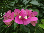 "Drillingsblume - Bougainvillea spec.; Bildquelle: <a href=""https://www.pflanzen-deutschland.de/quellen.php?bild_quelle=Wikipedia User Prenn"">Wikipedia User Prenn</a>; Bildlizenz: <a href=""https://creativecommons.org/licenses/by-sa/3.0/deed.de"" target=_blank title=""Namensnennung - Weitergabe unter gleichen Bedingungen 3.0 Unported (CC BY-SA 3.0)"">CC BY-SA 3.0</a>;"