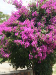 "Drillingsblume - Bougainvillea spec.; Bildquelle: <a href=""https://www.pflanzen-deutschland.de/quellen.php?bild_quelle=Wikipedia User FrancoBras"">Wikipedia User FrancoBras</a>; Bildlizenz: <a href=""https://creativecommons.org/licenses/by-sa/3.0/deed.de"" target=_blank title=""Namensnennung - Weitergabe unter gleichen Bedingungen 3.0 Unported (CC BY-SA 3.0)"">CC BY-SA 3.0</a>;"