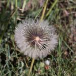 """Weichhaariges Schwefelkörbchen - Urospermum dalechampii; Bildquelle: <a href=""""https://www.pflanzen-deutschland.de/quellen.php?bild_quelle=Wikipedia User Daniel VILLAFRUELA"""">Wikipedia User Daniel VILLAFRUELA</a>; Bildlizenz: <a href=""""https://creativecommons.org/licenses/by/4.0/deed.de"""" target=_blank title=""""Namensnennung 4.0 International (CC BY 4.0)"""">CC BY 4.0</a>; <br>Wiki Commons Bildbeschreibung: <a href=""""https://commons.wikimedia.org/wiki/File:Urospermum_dalechampii-Urosperme_de_Dal%C3%A9champs-Fleur_mature-20160606.jpg"""" target=_blank title=""""https://commons.wikimedia.org/wiki/File:Urospermum_dalechampii-Urosperme_de_Dal%C3%A9champs-Fleur_mature-20160606.jpg"""">https://commons.wikimedia.org/wiki/File:Urospermum_dalechampii-Urosperme_de_Dal%C3%A9champs-Fleur_mature-20160606.jpg</a>"""
